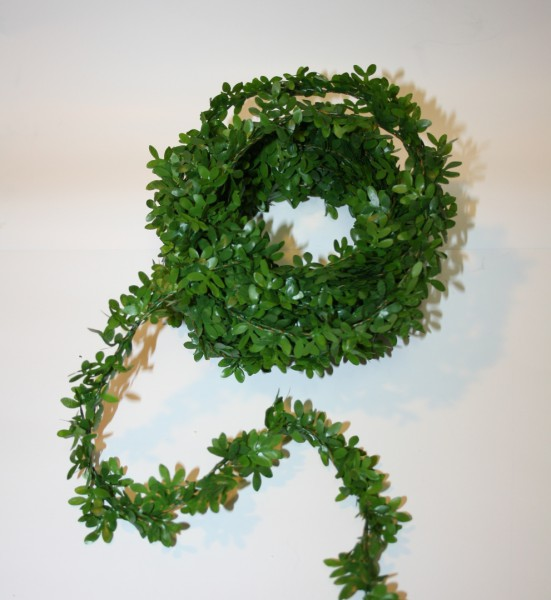 Miniranke Buchsbaum